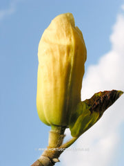 Magnolia 'Yellow River' - Sierboom - Hortus Conclusus  - 6