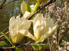 Magnolia 'Yellow River' - Sierboom - Hortus Conclusus  - 7