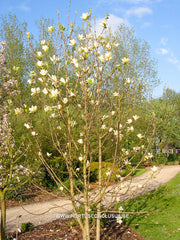 Magnolia 'Yellow River' - Sierboom - Hortus Conclusus  - 8
