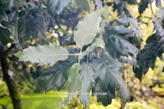 Quercus ithaburensis subs. macrolepis 'Hemelrijk Silver' - Sierboom - Hortus Conclusus  - 3