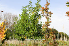 Quercus texana 'New Madrid' - Sierboom - Hortus Conclusus  - 1