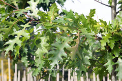 Quercus texana 'New Madrid' - Sierboom - Hortus Conclusus  - 3