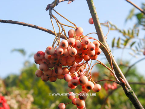 Sorbus x arnoldiana 'Red Tip'