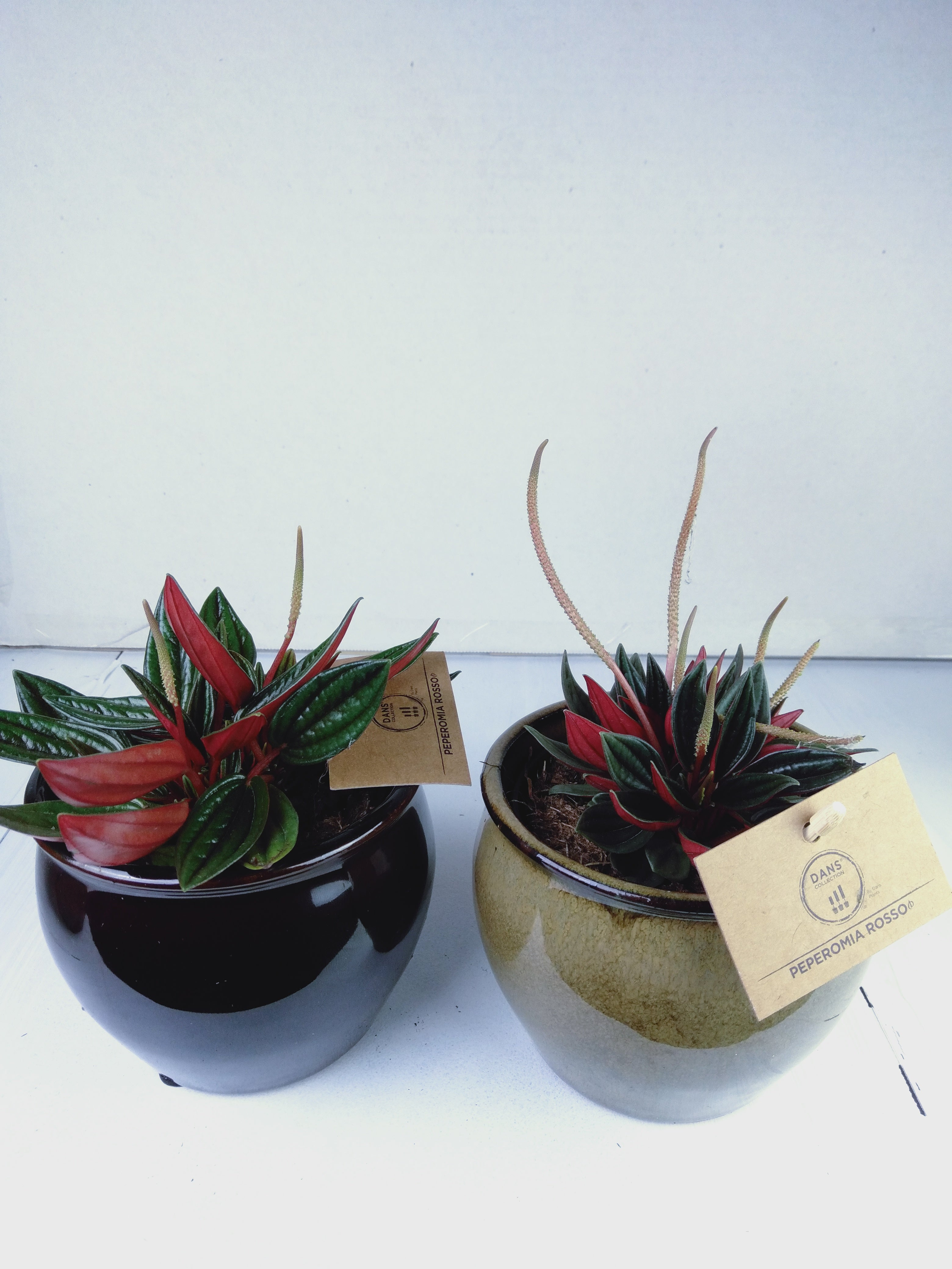 Dans Plants Peperomia Rosso 95mm with Stonewash Pot -Plants
