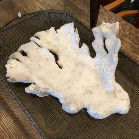 Huge Piece of White Branch Coral