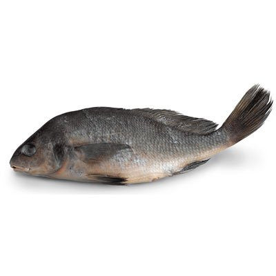"Freshwater Drum (Aplodinotus grunniens) - Size: 9""-12""; Injection: Plain"