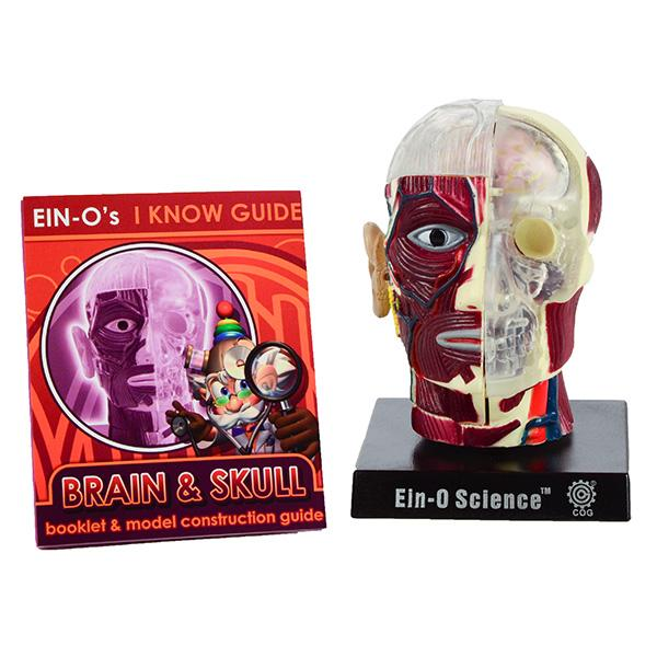 Bio Signs Human Anatomy Model - Brain & Skull