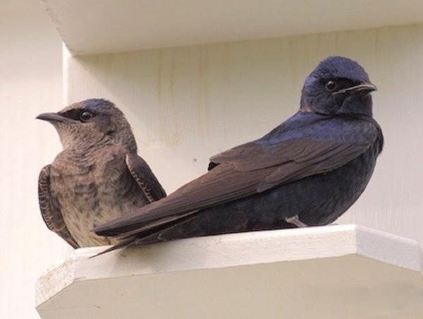 Ravenox Purple Martin Horizontal Gourd with Starling-Resistant Entrance Hole