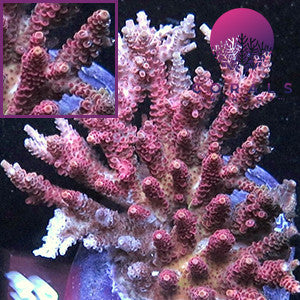 Acropora Hyacinthus Pink With Blue Tips Corals Direct