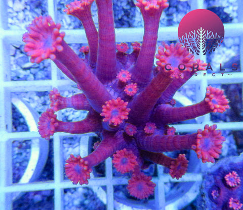 Auctions tagged frag page 2 corals direct limited marine coral lps wysiwyg gonipora flowerpot coral pink blue mouth stunning when mightylinksfo Choice Image