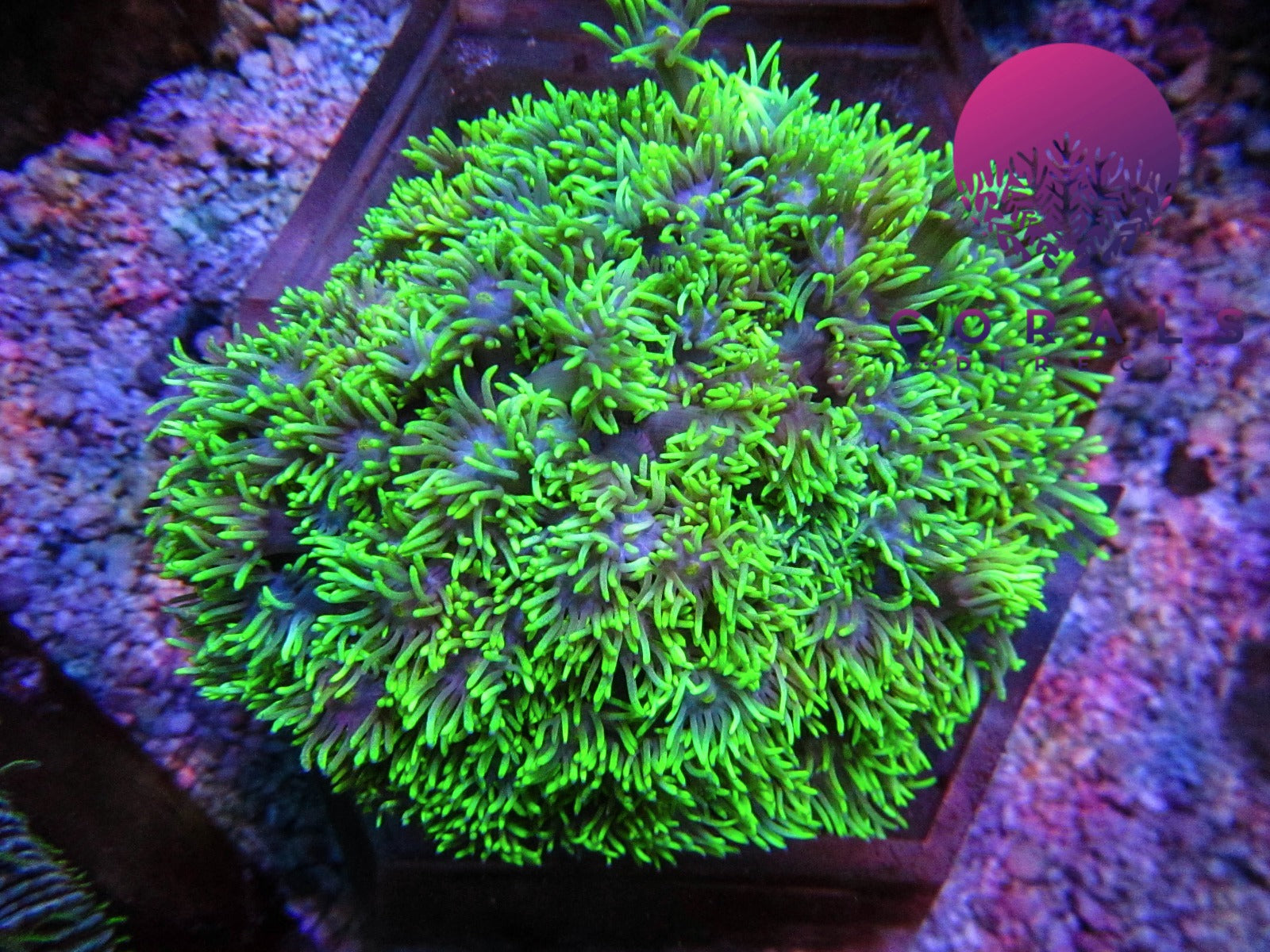 Coral collections tagged lps corals direct limited marine coral lps wysiwyg gonipora flower pot coral green with yellow heart mightylinksfo