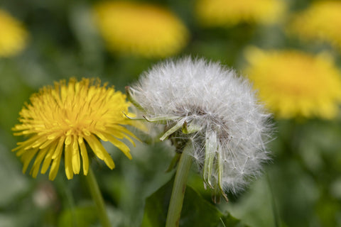 Dandelion, Image taken from Southern Living