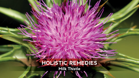 Milk Thistle Health Benefits, image taken using Yandex.com