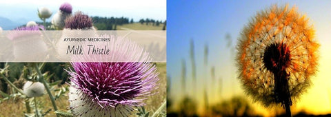 Fatty Lever remedy by dandelion and Milk Thistle