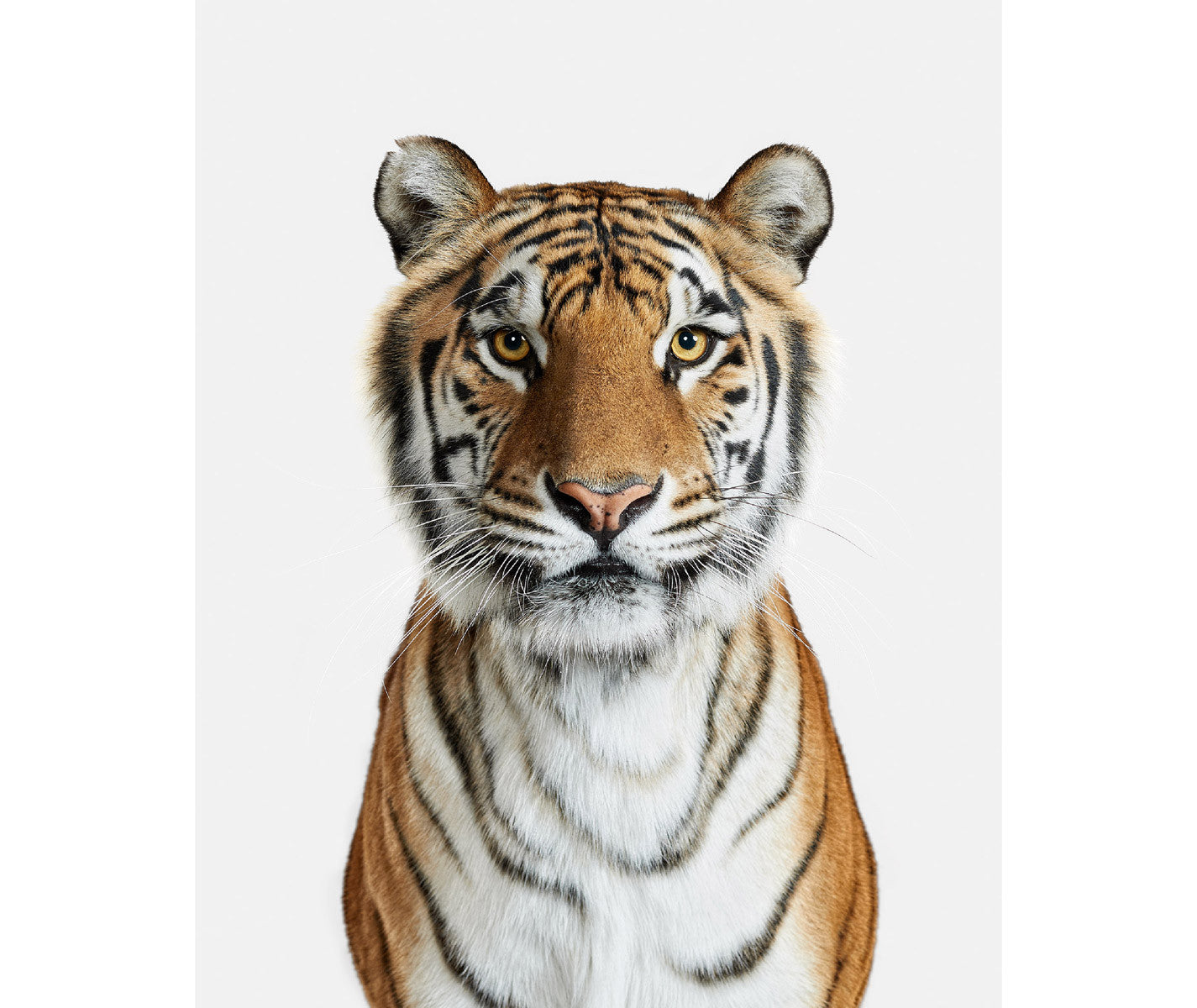 bengal tiger no 1 - Tiger Pictures To Color 2
