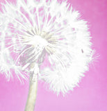 Soft Pink Dandelion Shower Curtain - Sylvia Coomes