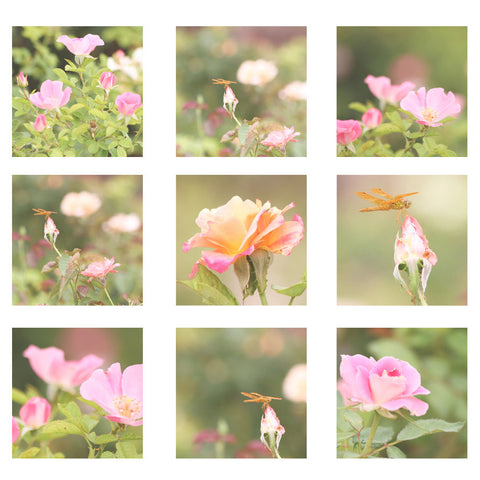 Flower Photography Set Rose Collection 9 Metallic photo wall Print orange pink roses Dragon Fly nature cottage flower chic home decor set - Sylvia Coomes