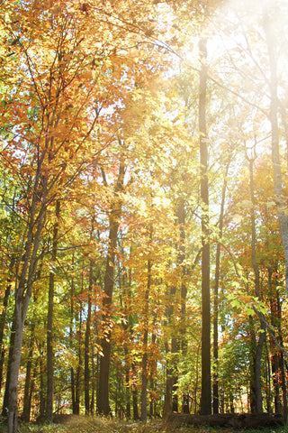 Art Metallic photography Autumn Light 2 Landscape photograph photo wall Print home decor forest ethereal nature yellow orange woods trees