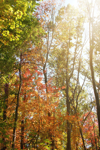 Art Metallic photography Autumn Light 1 Landscape photograph photo wall Print home decor forest ethereal nature yellow orange woods trees - Sylvia Coomes