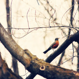 Bird Photography - Robin Red Breast - Earth Tone photograph - Nature Photo - wall Print - home decor - cottage chic - Sylvia Coomes