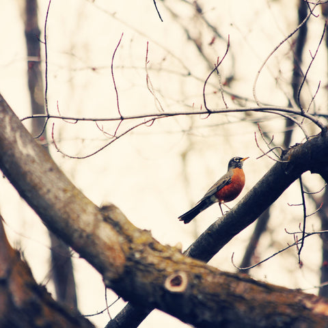 Robin Photography - Bird Photo - Robin Red Breast - Rustic Decor - Nature photograph - Cottage Chic - Wall Print - Home Decor - Sylvia Coomes
