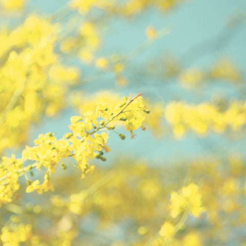 Abstract Photograph - Blooming tree photo - Yellow and Blue photograph - Yellow Flowers Photography - Cottage Chic decor