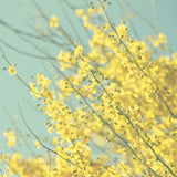 Yellow Flower Photography - Blue and Yellow photo - Blooming Tree photograph - Pastel Colors - Modern Wall Print - Cottage Chic decor