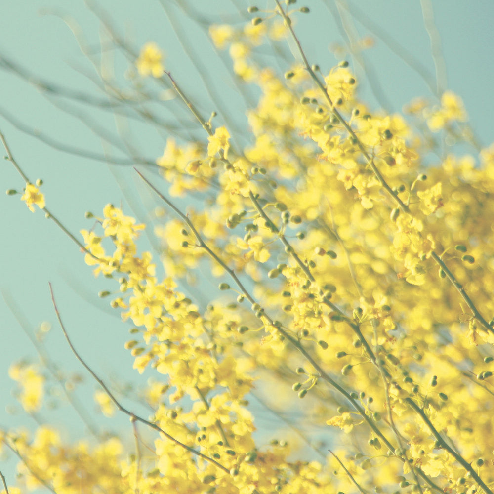 Yellow And Blue Photography Yellow Flower Photo Blooming Tree