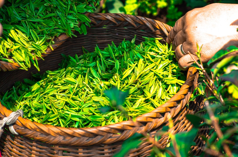 Green tea harvesting for ELDE Anti-Aging Eye Cream