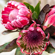 Pretty Protea Paint By Number Kit