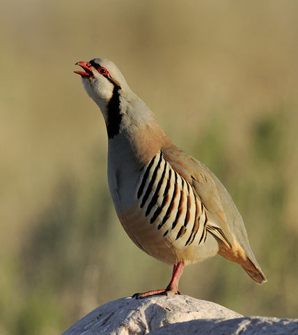 Additional Bird Card for Members - Chukar 10