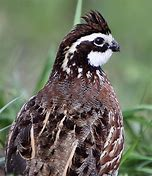 Additional Bird Card for Members - Bob White Quail 10