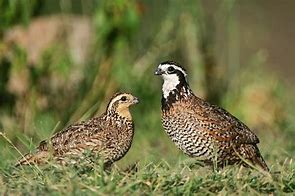 Additional Bird Card for Members- Bob White Quail 20