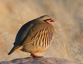 Additional Bird Card for Members - Chukar 20