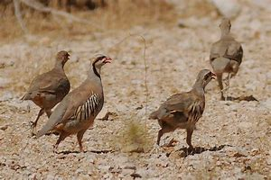 Non Member Bird Card - Chukar 20