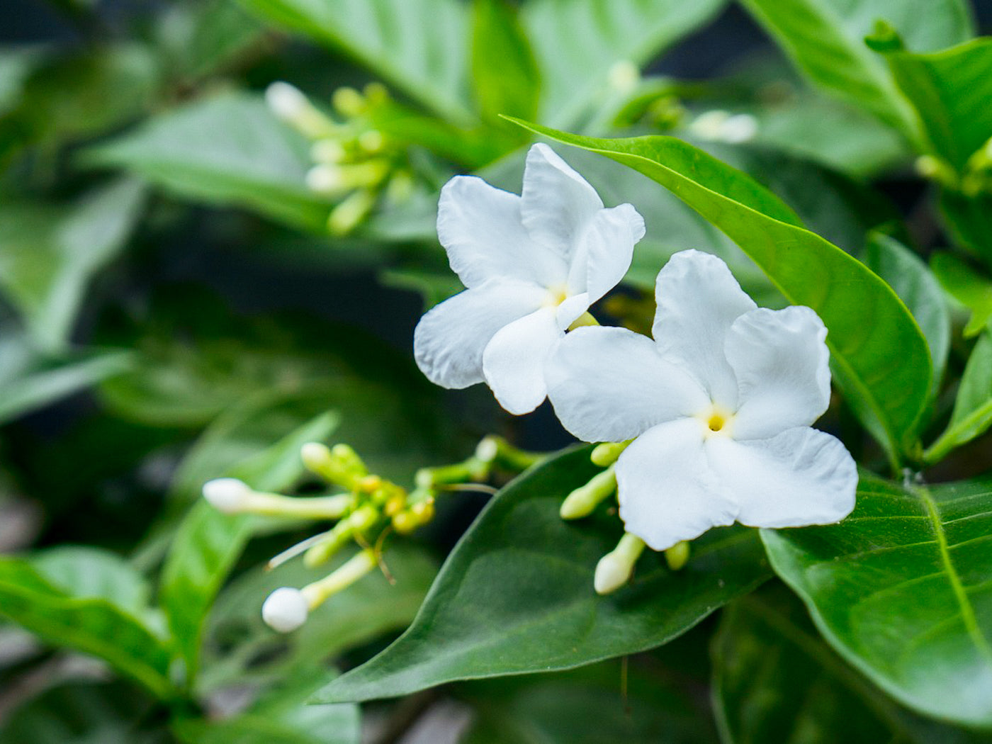 What is scented tea noble savage tea merchants during the summer months the jasmine flowers are plucked early in the day around 10am and kept cool to prevent them from opening until nightfall izmirmasajfo