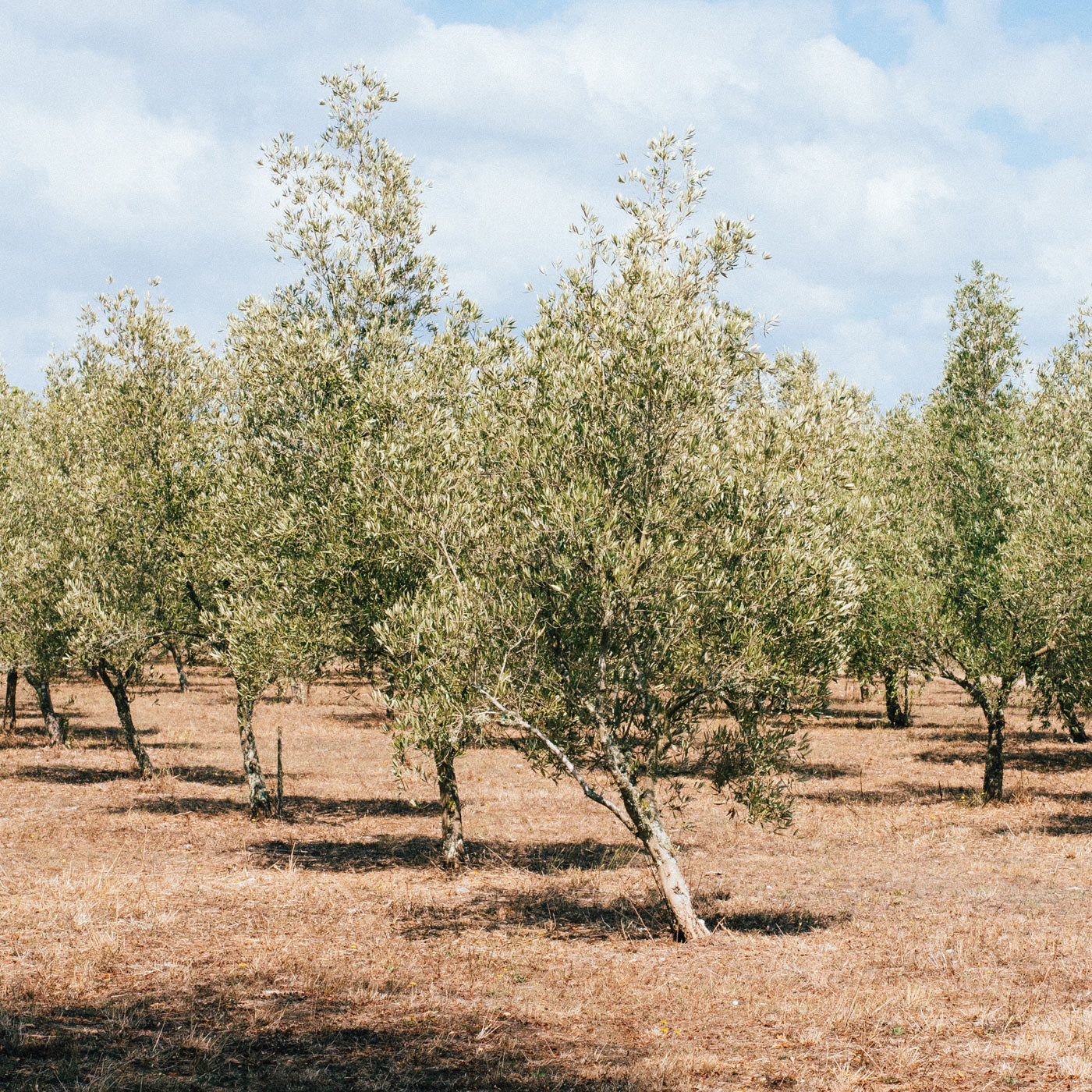 Organic Olive Grove where we get our tea