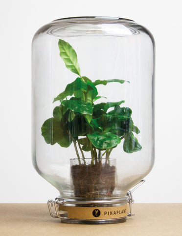 Coffea Arabica plant in jar | PIKAPLANT