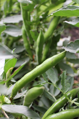 Broad Beans in the Tiddler & Fox Garden