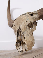 Large Water Buffalo Skull
