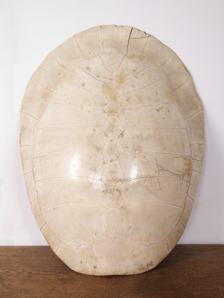 Albino Turtle Shell