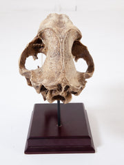 Sabertooth Tiger Skull
