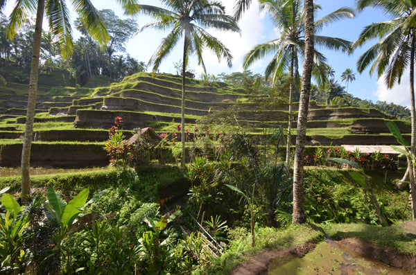 Ubud and its rice fields
