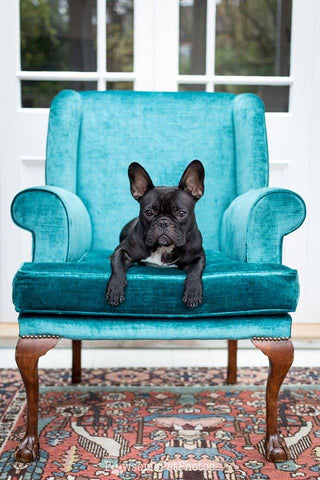 Kingfisher Blue Velvet Chair, Modelled by Kronk, photograph by Kaisa