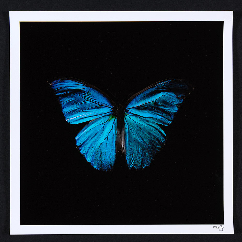 Alexander James Hamilton swarm butterflies blue