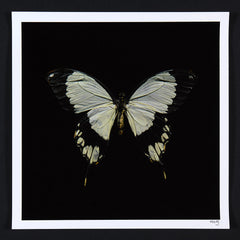 Alexander James Hamilton swarm butterflies white
