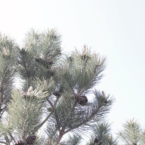 Pine trees in the wind by M of Copenhagen