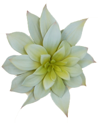Light Green Butterfly Succulent