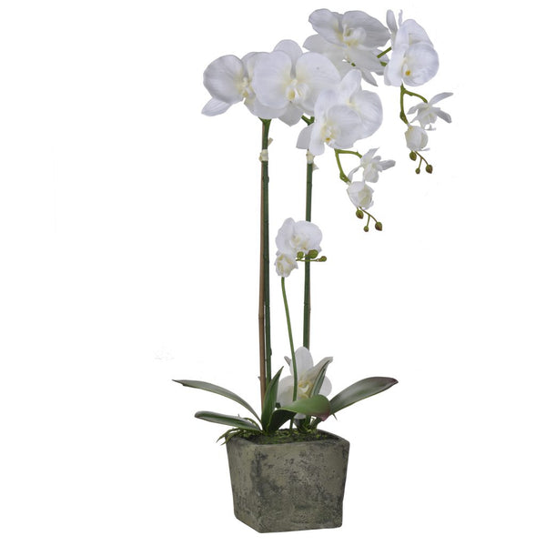 Potted Lavish White Orchid