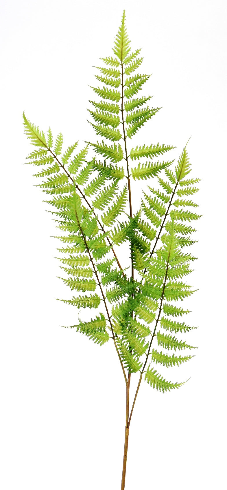 Wood Fern Stem